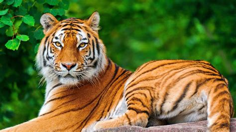 Wallpaper Nature Animals - nature animals tiger big cats wallpapers hd desktop