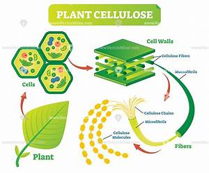 Plant Cellulose Biology Vector Illustration Diagram