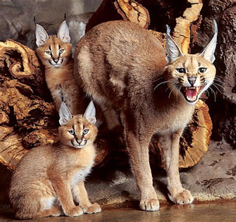 caracal kittens cat mom animal long antenna baby cats caracals lynx kits kitty wild defending