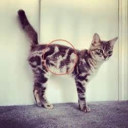 unique cats 22 cats with the most beautiful and unique coat patterns