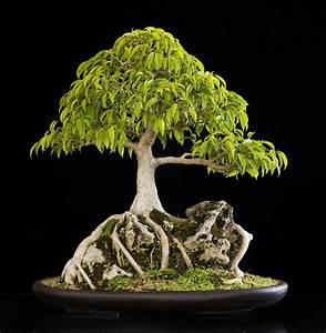 Ficus Bonsai Schneiden : view topic landscape category entries ~ Indierocktalk.com Haus und Dekorationen
