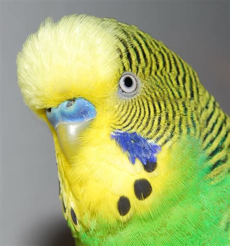 budgie bird budgies are awesome budgie vision 1