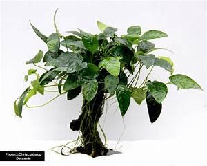 Pflanze Mit Großen Blättern : urwaldbaum mbuna mittel mit anubias nana dennerle ~ Michelbontemps.com Haus und Dekorationen