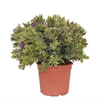panachee en pot panach 233 e pot diam 232 tre 18 cm autres marques jardinerie truffaut