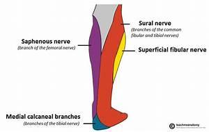 The Tibial Nerve - Course - Motor - Sensory - TeachMeAnatomy