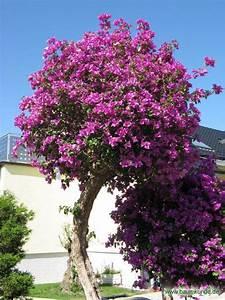 Kugelbäume Immergrün Winterhart : bougainvillea bougainvillea glabra pflanze auf hochstamm bestimmen bougainvillea ~ Watch28wear.com Haus und Dekorationen