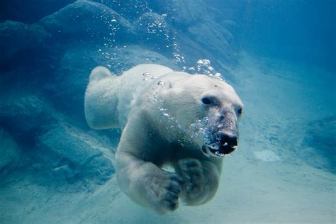 Stunning New Video Of Polar Bears