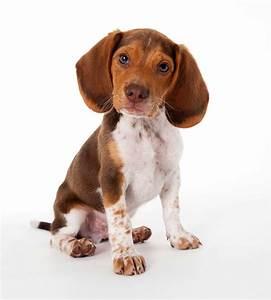Pocket Beagle Dog Breed » Everything About Pocket Beagles