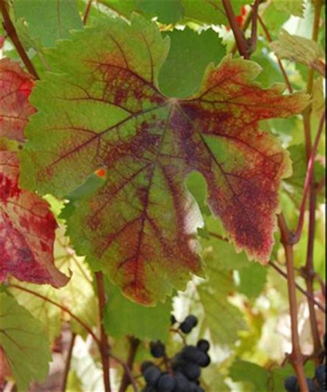 technology offers hope solving grapevine red blotch disease