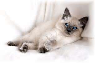 balinese cat balinese cat history personality appearance health and