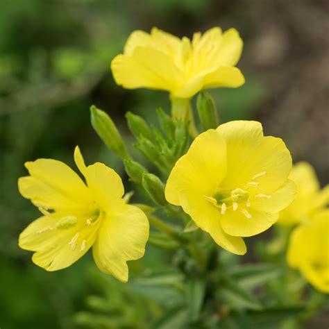 evening primrose missouriensis easy  grow bulbs