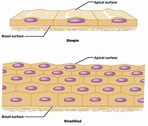 Epithelial Is A What U2026
