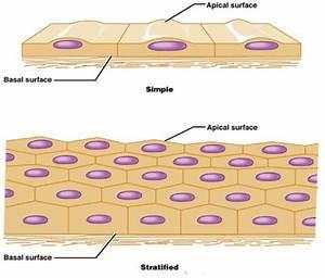 Skeletal Tissue Diagram
