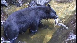 American Black Bear / River / North America SD Stock Video ...