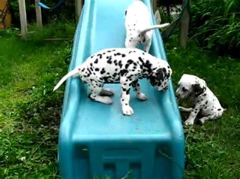 cute dalmatian puppies youtube