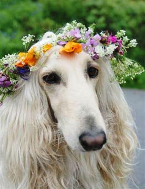 levrier  couronne de fleurs les nanimaux animaux