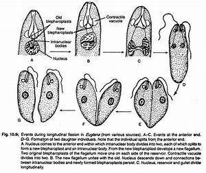 Study Notes on Euglena Viridis (With Digram)