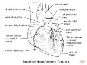 Related Suggestions for Human Heart Coloring Page