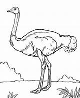 Coloring Emu Pages Birds Bird Ostrich Quiz African Printable Getdrawings Topcoloringpages Getcolorings sketch template