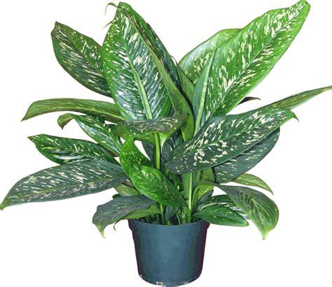 mengenal berbagai jenis tanaman hias daun cv cempaka mulya