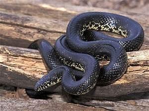 Snakes: Black King Snake