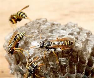 Was Essen Wespen : wespen bek mpfen infos und tipps zur bek mpfung ~ Frokenaadalensverden.com Haus und Dekorationen