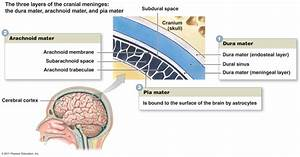 Structure and Function of the Cranial Meninges ...