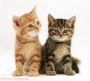 Image Gallery tabby kittens