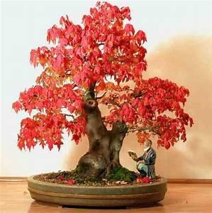Acer Rubrum Bonsai Seeds F 377 | eBay