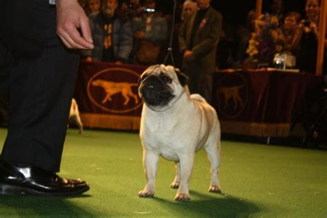 westminster dog show  pugs chihuahuas rock toy group