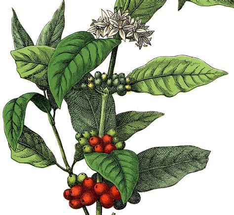 stock image coffee plant  graphics fairy