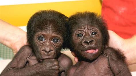 humanos  gorilas mas cerca de lo  se pensaba