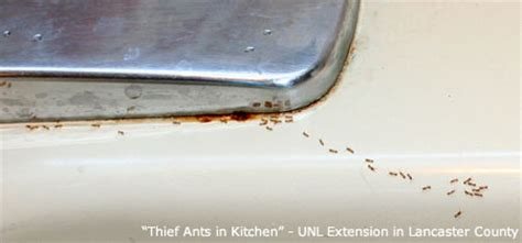 Control Ants In Kitchen ant control nebraska extension in lancaster county