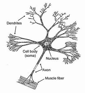 What Is The Longest Part Of A Motor Neuron