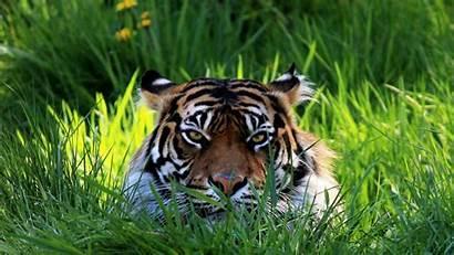 Tiger Wallpapers Tigres Bengala Tigre Face Grass