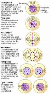 This Detail Description Of The Phases Of Mitosis For The