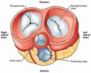 The Heart Valves - Tricuspid - Aortic - Mitral