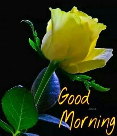 Morning Yellow Rose Desicomments Goodmorning Hyderabad Jayabalan