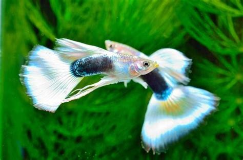reasons  guppies   perfect pet pretty tail