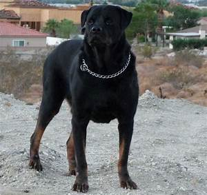 all list of different dogs breeds top 10 most dangerous With rottweiler dangerous dog