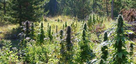 bureau de poste noisy le grand fin de floraison cannabis exterieur 28 images