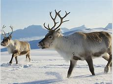 Visit the North Pole and meet reindeer on a weekend trip