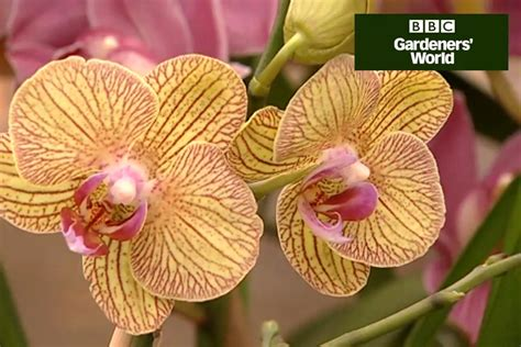 how to get an orchid plant to bloom again caring for orchids video guide gardenersworld com