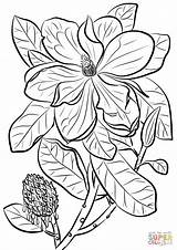 Magnolia Coloring Pages Southern Bull Bay Drawing Printable Paper Flowers sketch template