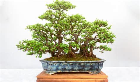 bonsai äste schneiden bonsai schneiden 5 tricks die kennen muss
