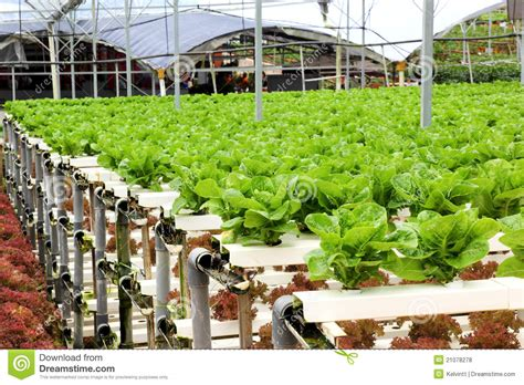 agriculture hydroponic vegetable farm royalty  stock