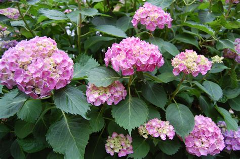 how to hydrangeas file hydrangea bush jpg wikimedia commons