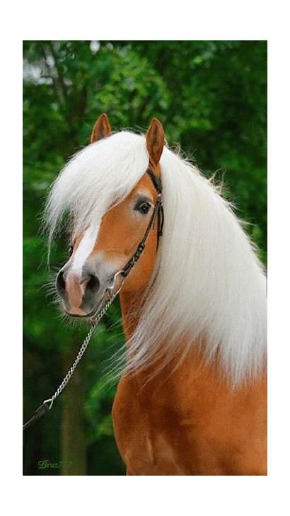 Horse Horses Haflinger Caballos Caballo Mariana Amazing