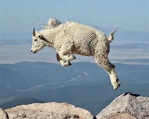 JHP Blog - June 21, 2012 - Mountain Goat Yearling Jumping ...