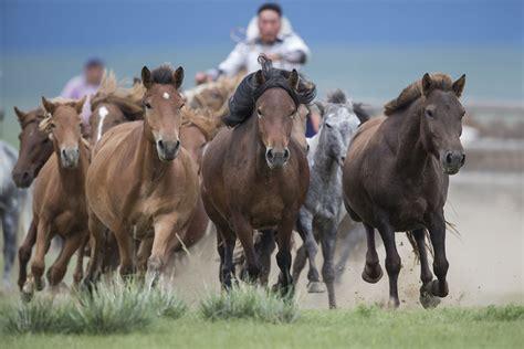 mongolian horse horses culture mongolia nomadic mongols shoots unchanged captured showing through bored panda